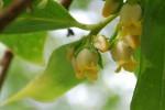 カキノキ柿の木Diospyros kaki5~6月