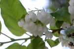 20150604ネジキ捩木Lyonia ovalifolia var. elliptica 5~7月