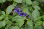 20150630-6月の花-4-ラベンダーセージ-2