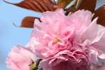 20160413サクラ'ハナガサ'桜'花笠'Cerasus lannesiana'Hanagasa' 4月