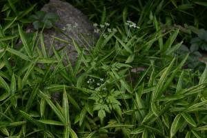 20150630 6月の花 4 ヤブジラミ (1)