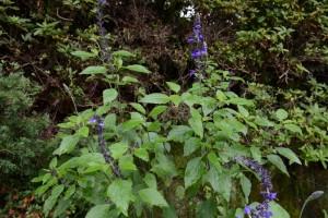 20150630 6月の花 4 ラベンダーセージ (1)