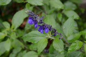 20150630 6月の花 4 ラベンダーセージ (2)