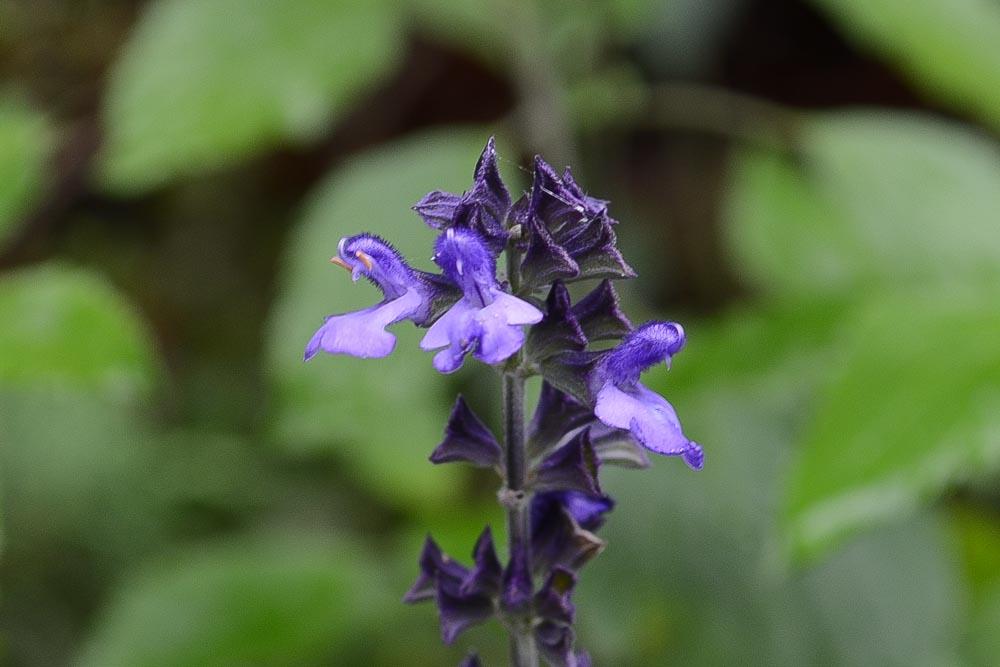 サルビア・ファリナセア・インディゴスパイアス(ラベンダーセージ)Salvia farinacea Indigo Spires6~11月