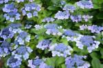 """ガクアジサイ紫陽花"""" Hydrangea macrophylla     form. Normalis""""5~7月"""