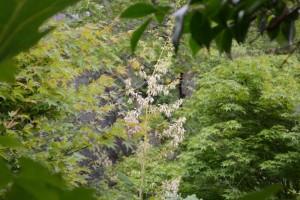 20150707タケニグサの花 (3)