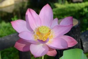 20150810ハスの花 (1)