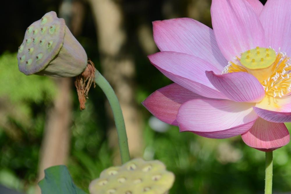 20150810ハスの花 (4)