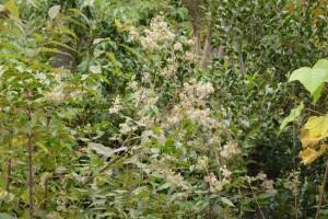 20151102ヒヨドリバナの種 (2)