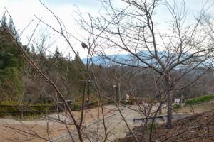 20160119  カワヅザクラ(河津桜)が咲きました (1)