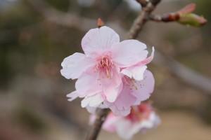 20160119  カワヅザクラ(河津桜)が咲きました (2)