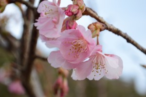 20160119  カワヅザクラ(河津桜)が咲きました (3)
