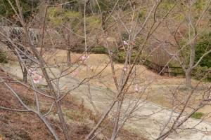 20160119  カワヅザクラ(河津桜)が咲きました (4)