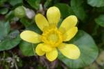 キクザキリュウキンカ菊咲立金花Ficaria verna3~5月