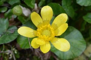 20160220キクザキリュウキンカ(菊咲立金花)の花 (2)