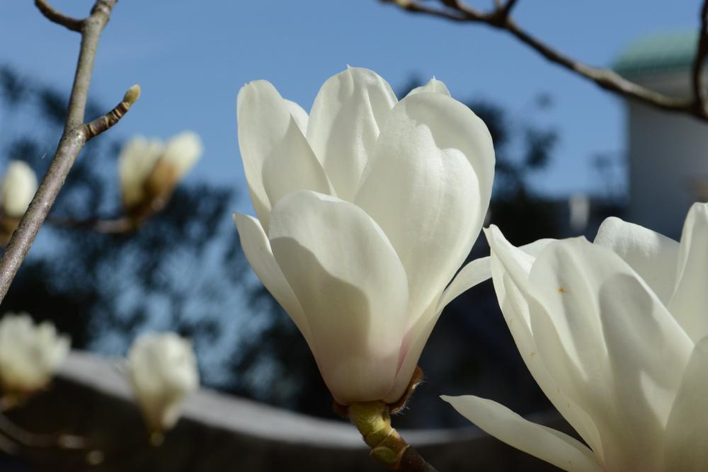 ハクモクレン白木蓮Magnolia heptapeta3~4月