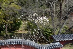20160323ハクモクレンの花が咲きました (3)