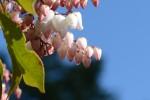 アセビ馬酔木Pieris japonica3~5月