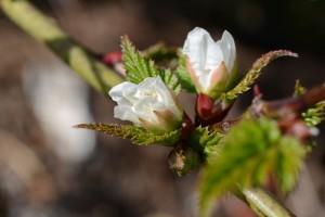 20160324イバラの仲間(かな?)の花が咲き始めました (2)