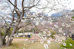 20160331サクラの花が満開に (1)