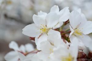 20160331サクラの花が満開に (2)