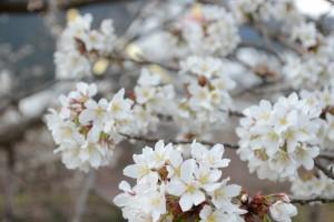 20160331サクラの花が満開に (3)