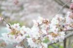 20160401サクラ'ソメイヨシノ'桜'染井吉野'Cerasus x yedoensis'Yedoensis'3~4月