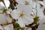 20160404オオシマザクラ大島桜Cerasus speciosa3~4月