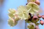 サクラ'ウコン'桜'鬱金'Cerasus lannesiana'Ukon'4月