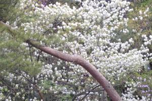 20160414 ザイフリボク(采振木)の花 (1)