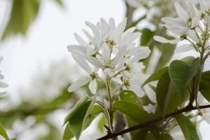 20160414 ザイフリボク(采振木)の花 (3)