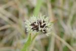 スズメノヤリ(雌性期)雀の槍Luzula capitata4~5月