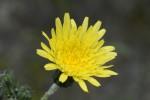 ノゲシ野芥子Sonchus oleraceus4~7月