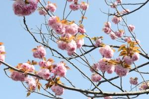 20160418ヤエザクラ八重桜 (3)