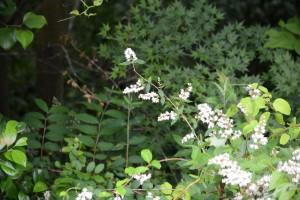 20160605ウツギ(空木)の花 (1)