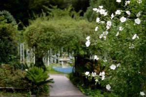 20160711ムクゲ(木槿)の花 (1)