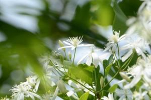 20160805 センニンソウ(仙人草)の花 (1)