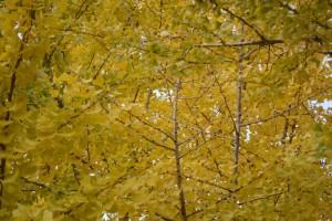 20161115-20161116イチョウ(銀杏)の紅葉が始まりました (2)