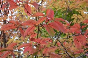 20161118杜の遊歩道の紅葉が見ごろを迎えています メグスリノキ 目薬木