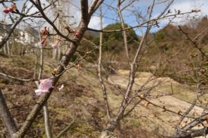 20170207 カワヅザクラの花が咲きました (2)
