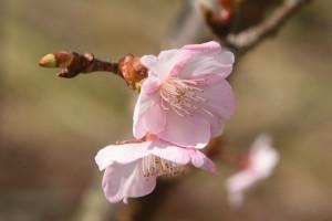 20170207 カワヅザクラの花が咲きました (3)