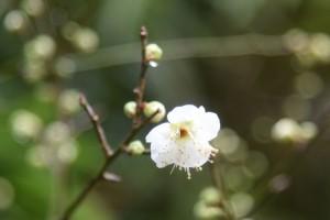 20170209 ウメ(白梅)の花 (2)