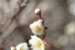 20170209 ウメ梅Prunus mume2~3月