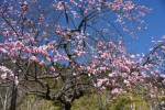 20170301ウメ'シダレウメ'梅'枝垂梅'Prunus mume form. pendula2~3月