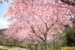 20170315サクラ'カワヅザクラ'桜'河津桜'Cerasus lannesiana 'Kawazu-zakura'1~3月