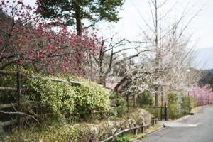 20170317カンヒザクラ(ヒカンザクラ)寒緋桜が咲き始めました (1)
