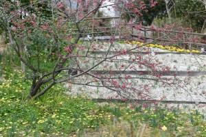 20170317カンヒザクラ(ヒカンザクラ)寒緋桜が咲き始めました (3)