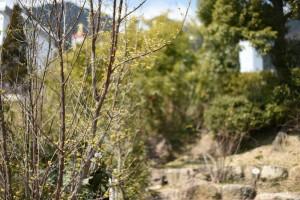 20170317サンシュユ(山茱萸)の花が咲き始めました (2)