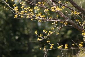 20170317サンシュユ(山茱萸)の花が咲き始めました (3)