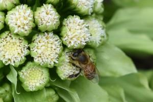 20170317フキノトウ(蕗の薹) フキ(蕗)の花とミツバチ(蜜蜂) (3)